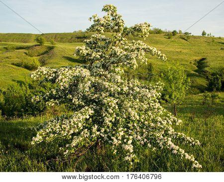 Amazing spring landscape and a flowering hawthorn tree. Ukraine. Europe.