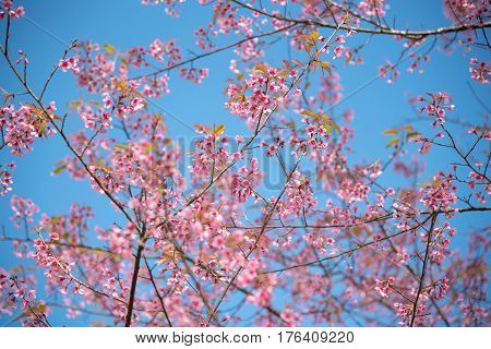 Scenic View of Beautiful Sakura flowers or Cherry blossom with clear blue sky in a Garden on the mountain during Springtime Phu lom lo Phitsanulok Province and Loei Province Thailand.