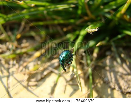Small green beetle sitting on grass stalk