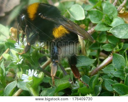 Big bumble bee collecting nectar from a flower