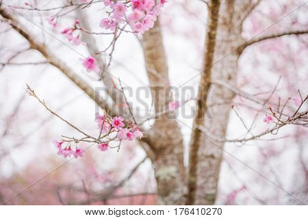 Scenic View of Beautiful Sakura Trees or Cherry blossom in a Garden on the mountain during Springtime Phu lom lo Phitsanulok Province and Loei Province Thailand.
