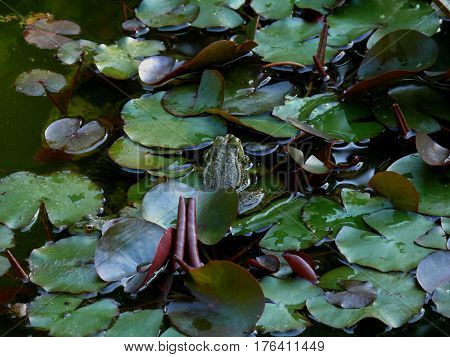 Green frog among lilies in the pond