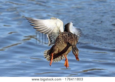 A female mallard duck flying in to land on a lake.