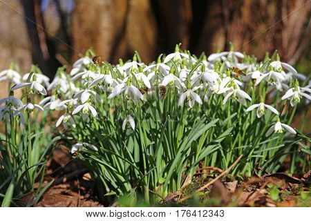 blossoming snowdrops (Galanthus nivalis) in the garden