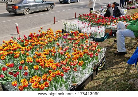 CLUJ-NAPOCA ROMANIA - MARCH 8 2017: Flower vendors sell tulips potted flowers on the street