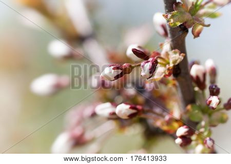 Buds of the first spring blooms - macro