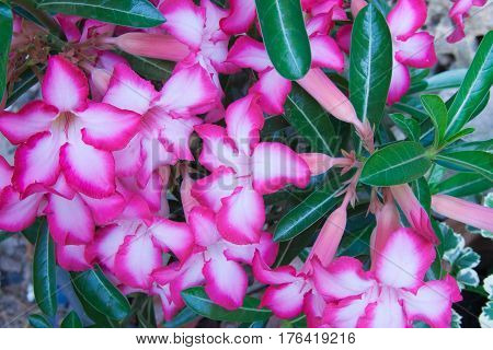 The pink flower of azalea in the garden