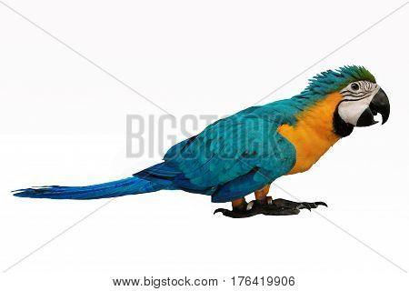 4 Months male blue and yellow macaw parrot isolated on white background.