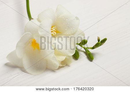 White freesia on the light background. Concept of spring Women's Day Mothers day 8 March the holiday greetings tenderness femininity. Place for your text