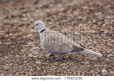 Wild Eurasian collared dove bird Streptopelia decaocto in the park in Burgas Bulgaria