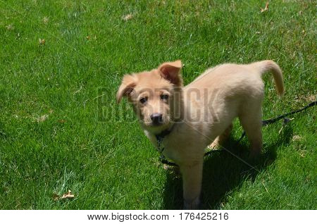 Yarmouth Toller puppy dog on a summer day standing in green grass.