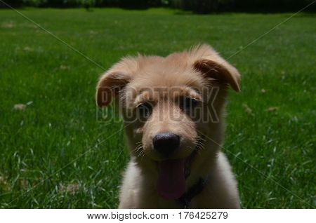 Really sweet faced Nova Scotia Duck Tolling Retriever puppy dog.