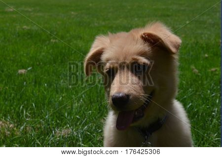 Sweet expression on the face of a Nova Scotia Duck Tolling Retriever puppy.