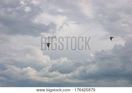 Two Seagulls flying in the dark storm cloudy sky. View of a seagull by fly for freedom concept. Rainy ominous grey storm clouds - dramatic sky