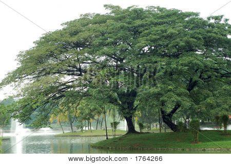 Big Tree2