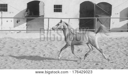 Arabian Horse In A Sandy Ranch/ Featuring Arabian Horse In A Sandy Field In Sunny Day