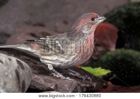 A male House Finch, Haemorhous mexicanus drinking from a forest pond