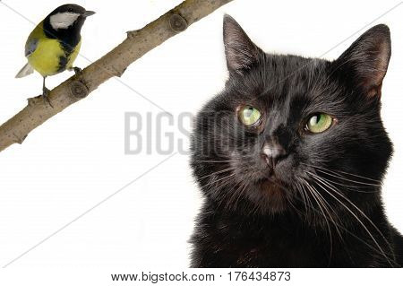 Black cat and  titmouse on a white background