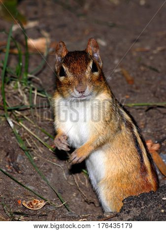 Chipmunk caught by surprise exiting its burrow.