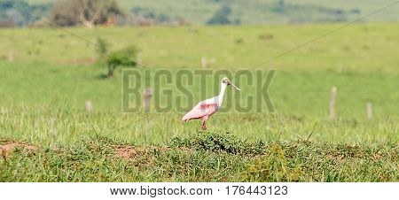 Roseate Spoonbill Bird On A Open Field