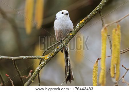 long-tailed tit of spring earrings trees, wild birds, wild birds, the little white bird, nice muzzle