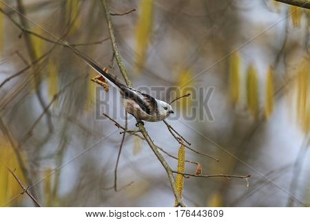 Aegithalos caudatus in spring forest, wild birds, wild birds, the little white bird, nice muzzle