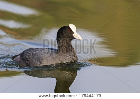 coot - first spring bird, black bird, spring dance, waterfowl, spring mating game