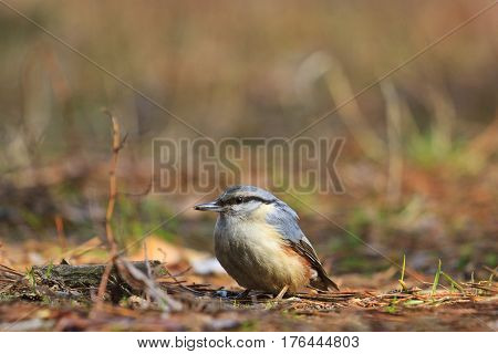nuthatch sitting on the ground with the mite in its beak, wild bird, forest bird, the bird in search of food in the spring