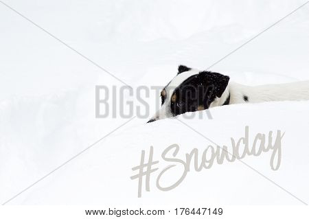 Snow day forecast #snowday cute dog covered in snow photography social Image for sharing with Jack Russell Terrier buried in deep snow with snowfall covering dog and hashtag #snowday online with copy space and white background
