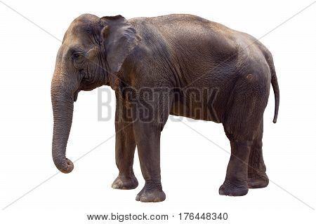 The indian elephant isolated on white background