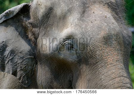 The head of Indian elephant close up
