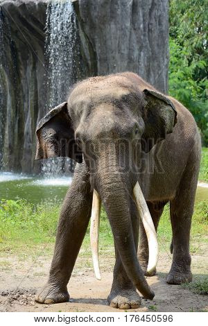 The big Indian elephant near a waterfall
