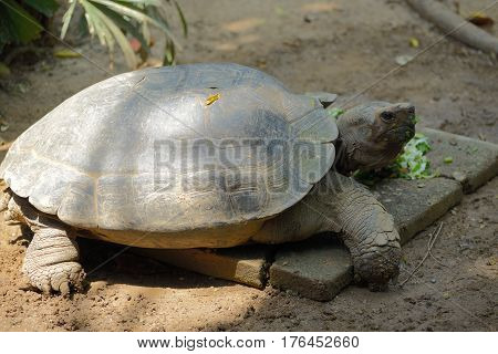 The brown Galápagos tortoise during lunch on sand