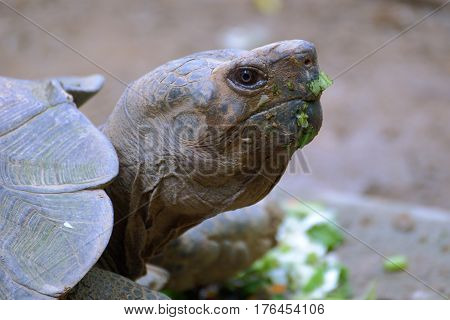 Portrait of a Galapagos tortoise after dinner closeup