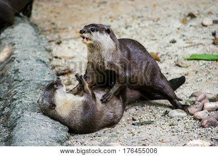 European otter (Lutra lutra) also known as the Eurasian otter Eurasian river otter common otter and Old World otter is a European and Asian member of the Lutrinae or otter subfamily and is typical of freshwater otters.