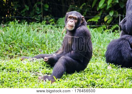 chimpanzee sitting with a straw in his mouth In singapore Zoo