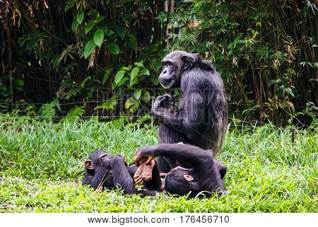 chimpanzee with two babes sitting In singapore Zoo