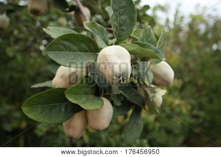 quince fruit hanging branches tree tart scented sour