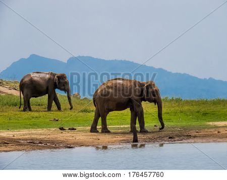 Two beautiful giant Asian elephants elephant couple standing near a lake riverbed in an island of a national park in Sri Lanka