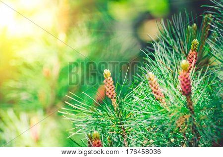 Pine spruce cedar spruce in the park green needles.