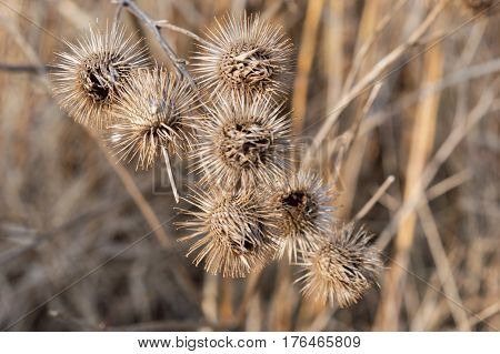 Bur Weed Ditch-bur (Xanthium strumarium L.) has medicinal properties. A Dried wild bur plant