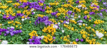 Panorama of a flowerbed of colorful crosuses