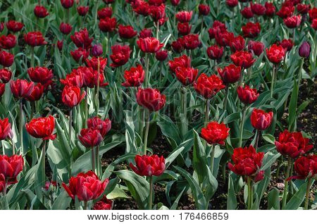 Many buds of red blossoming tulips in the park