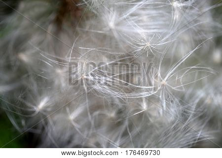 Photo background of macro white fluff against flowers in summer