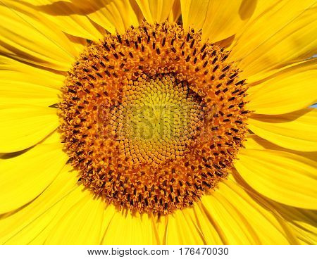 Photo of a bright macro sunflower lit by the sun