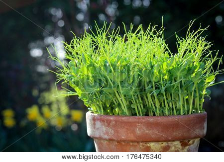 Pea Green Young Tendril Plants Shoots Microgreens In Plant Pot