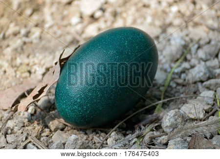 Green emu egg lying on the ground