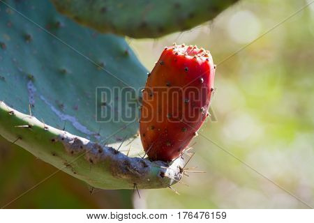 Edible cactus prickly pear opuntia with ripe pink fruits