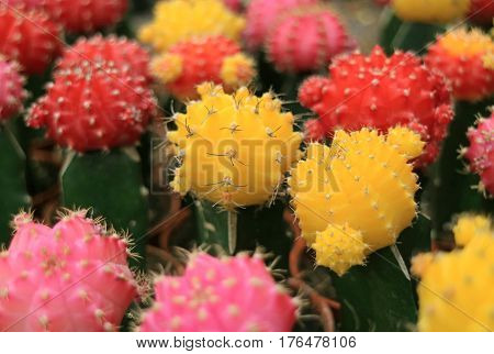 Closed up Bunch of Colorful Mini Cactus Plants, Multi-Color Mini Cactus Plants for Background