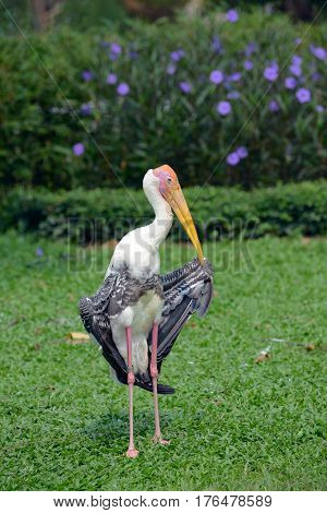 Ringed stork standing in a funny pose